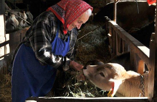 imboccare i vitelli